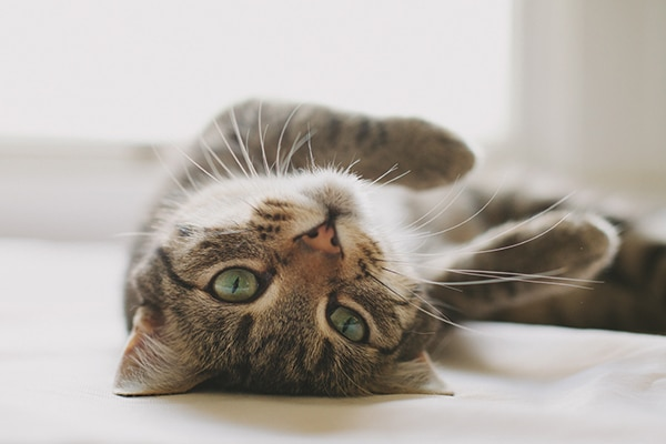 Why Fat is Good for Your Cat